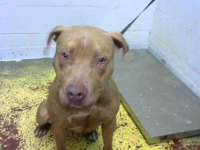 American Pit Bull Terrier Dog For Adoption In Atlanta Ga Adn