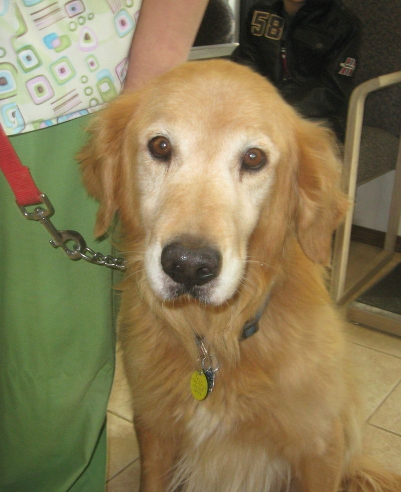 Adopt Hudson Tulsa On Golden Retriever Rescue Dog Love Buy A Dog