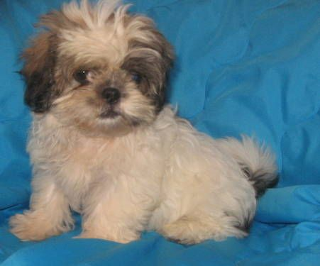 Shihpoo And Ckc Shih Tzu Pups 11wks Old Average Adult Size 8 10 Lbs Gold Hill Nc Near Greensboro 300 Shih Poo Dogs And Puppies Designer Dogs