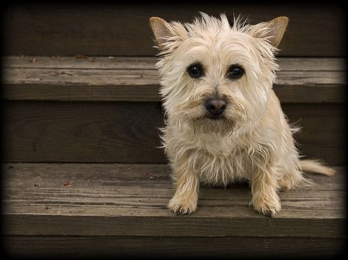 Blonde Cairn Terrier I M Not Gonna Be Able To Hold Out Much