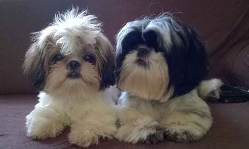 Shih Tzu Dog Training How To Make Them Respect You Check Out