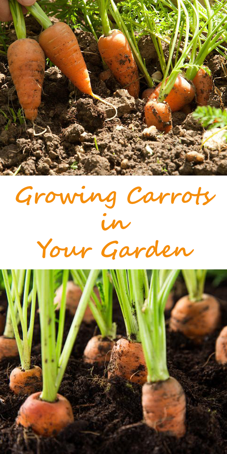 The Carrot Is A Cool Weather Crop That Is Easy To Grow And Has A Delicious Flavor All Its Own Want To Learn How To Grow Growing Carrots Growing Celery Growing