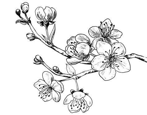 Dibujo De Rama De Cerezo Para Colorear Ramas De Cerezo Flor De