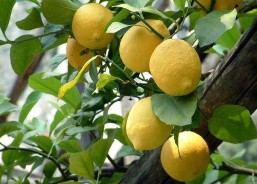 limoni di Sicilia