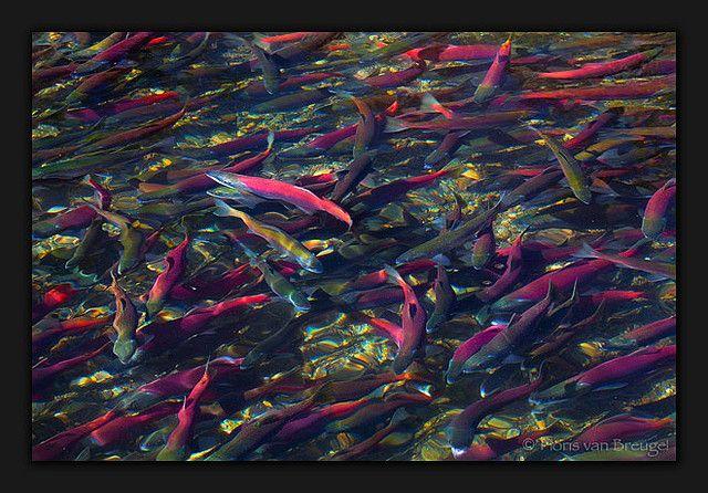 Salmon Spawning Salmon, Pet birds, Lake tahoe