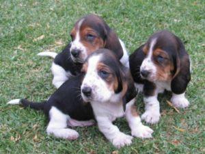 Basset Pups バセットハウンド
