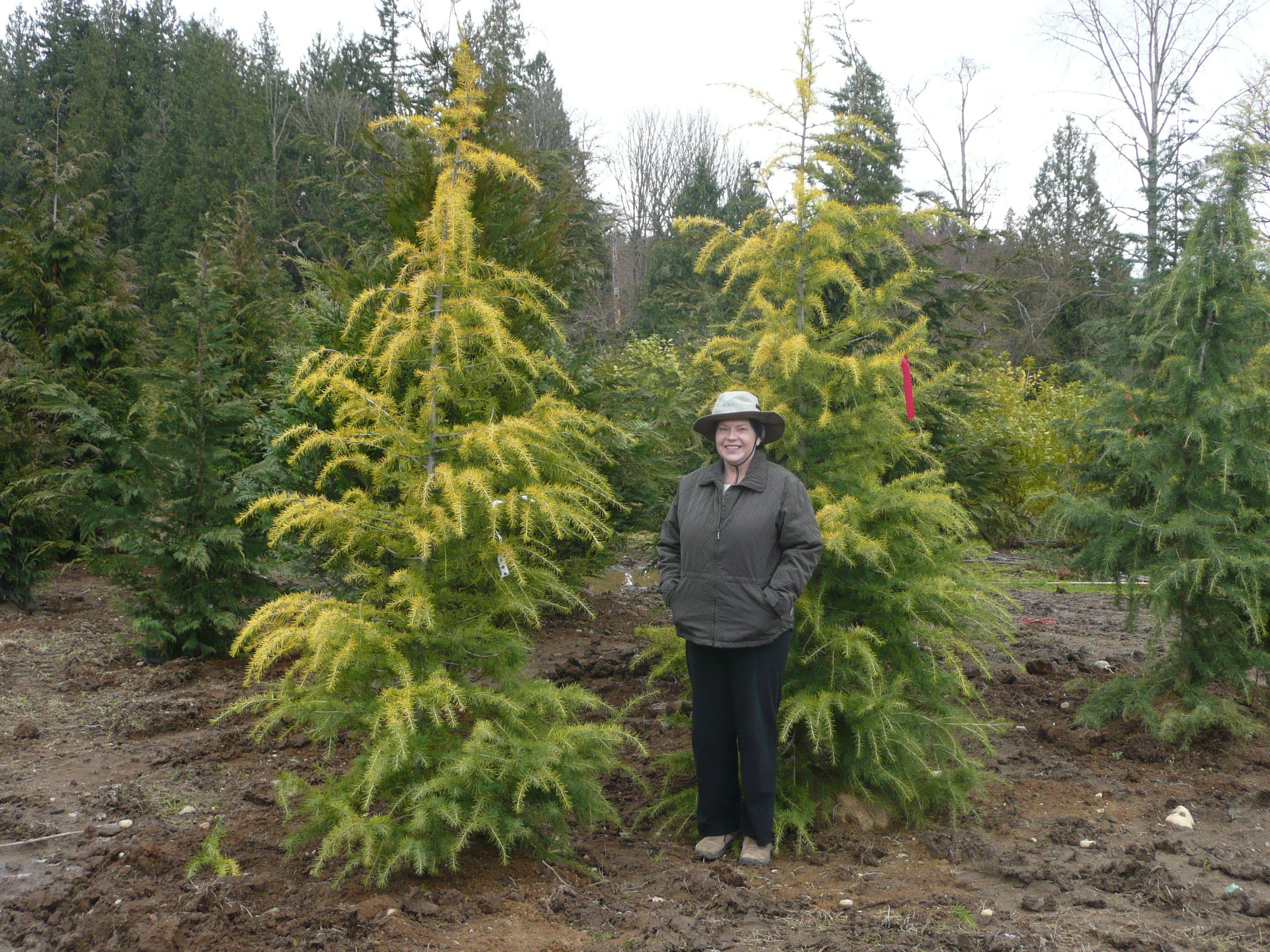 Doedar Cedar In Washington State Landscape Trees 400 x 300