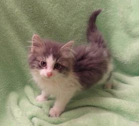 Adopt Howard On Petfinder Grey And White Cat Grey And White Kitten White Kittens