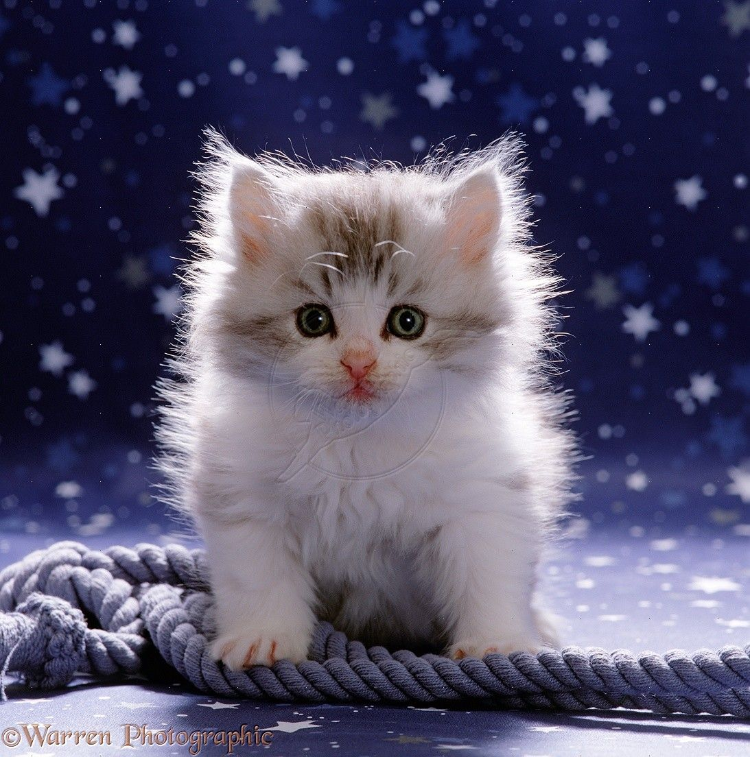 Miao Miao Miao 44 Super Cute White Kitten enjoy