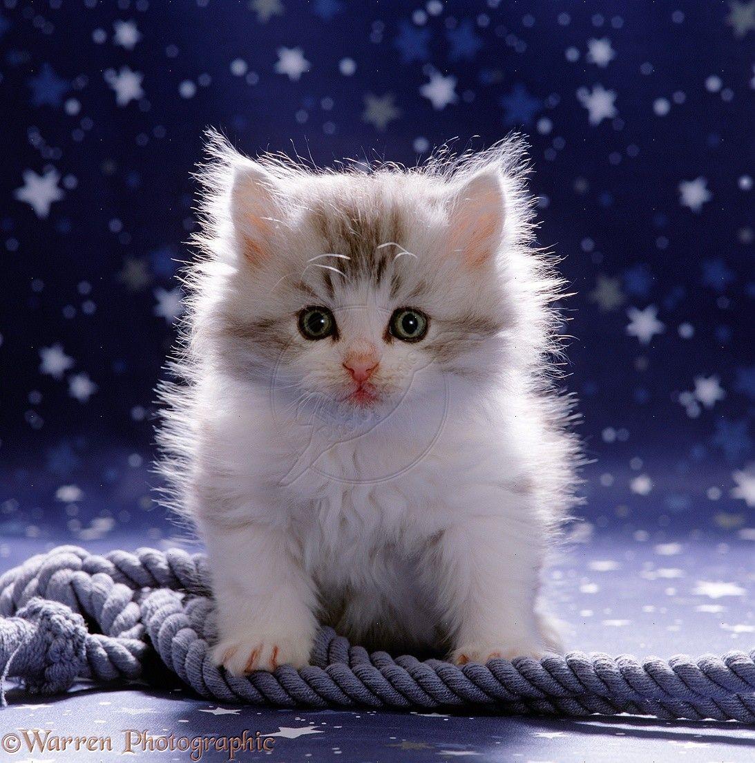 Fluffy Cute Kitten wallpapers Kitten pictures, Kitten