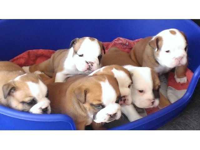 Cute English Bulldog Puppies Adoption Bulldog Puppies Puppy Adoption English Bulldog Puppies