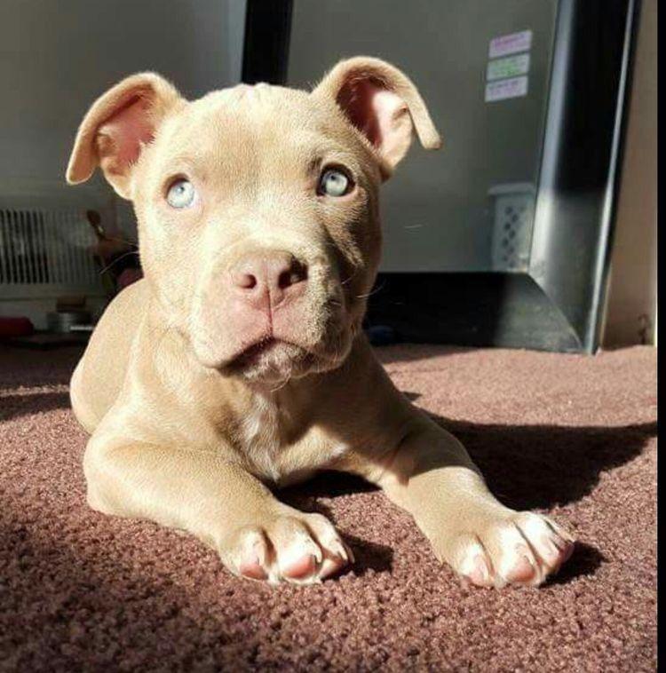 Popular Pitbull Blue Eye Adorable Dog - f502af7cbb30883495b5fe43f19cb7bb  Trends_316281  .jpg