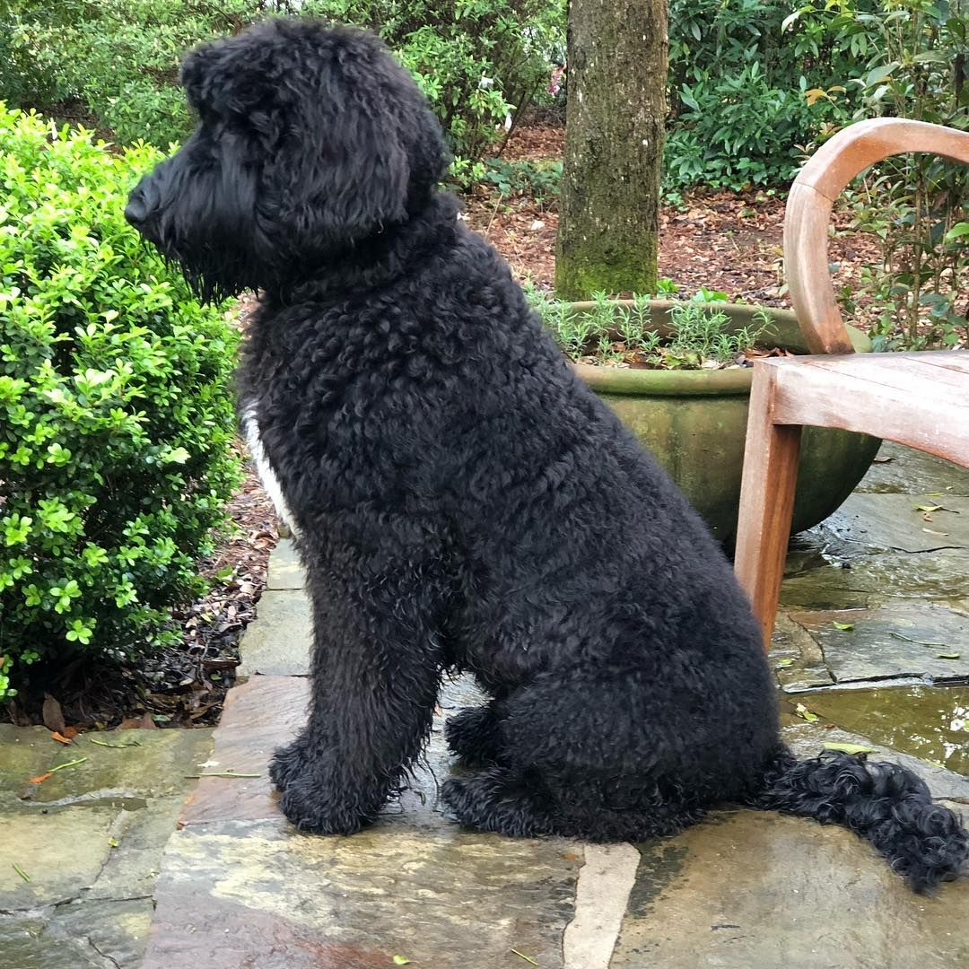 Giant Schnoodle Giant Schnauzer Poodle Mix Info Pictures Facts Schnoodle Dog Schnoodle Poodle Mix Dogs