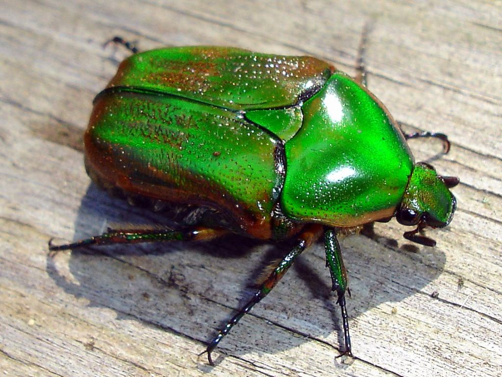 Green june beetle by wolfepaw on deviantart creatures green june beetle by wolfepaw on deviantart buycottarizona