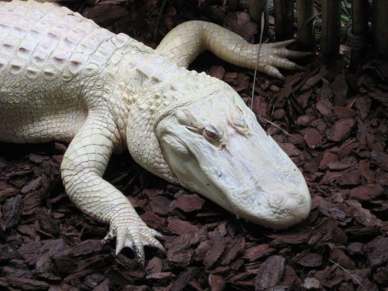 photo albino_alligator.jpg | Critters: Sketch Study | Pinterest ...