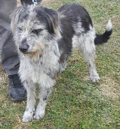 Adopt Nala on Australian shepherd, Airedale terrier