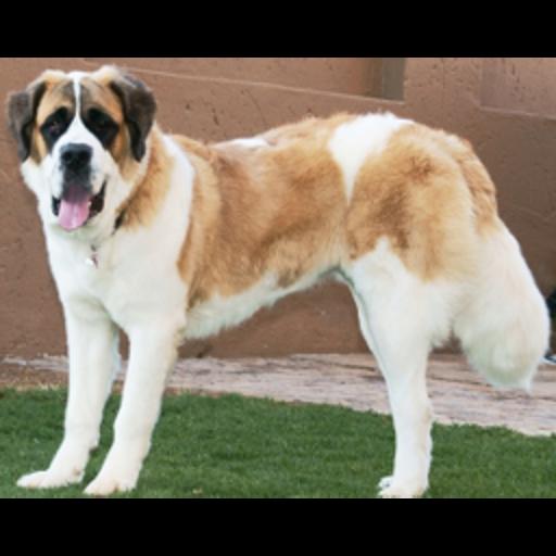 Big Dogs Memory Apps Dog breeds, Dog breed quiz, Bernard dog