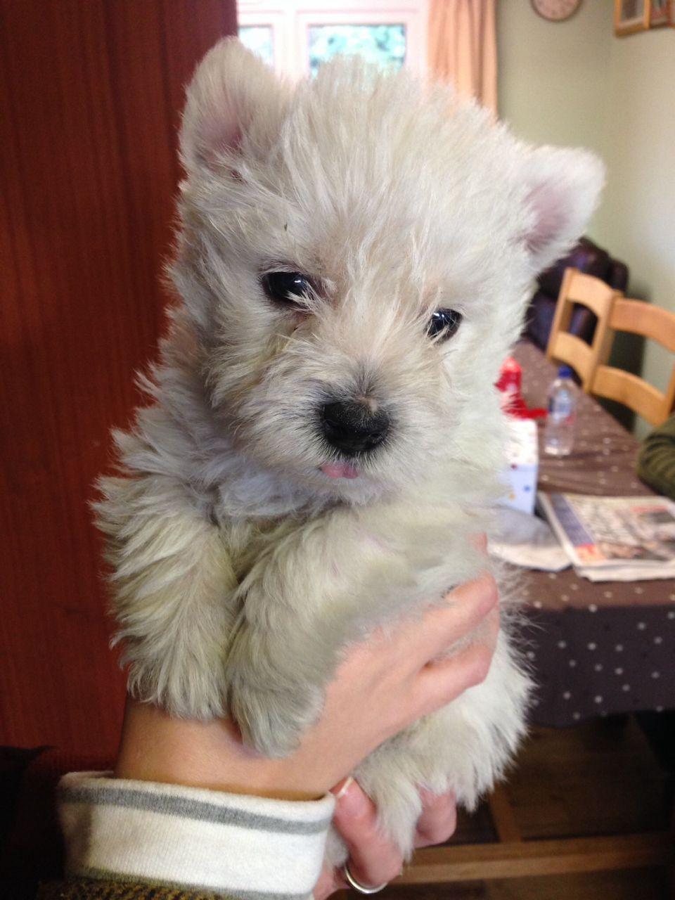 Gorgeous Westie Puppies For Sale 52bdbd27f29ec Jpg 960 1280 Westie Puppies Puppies Westie Puppies For Sale