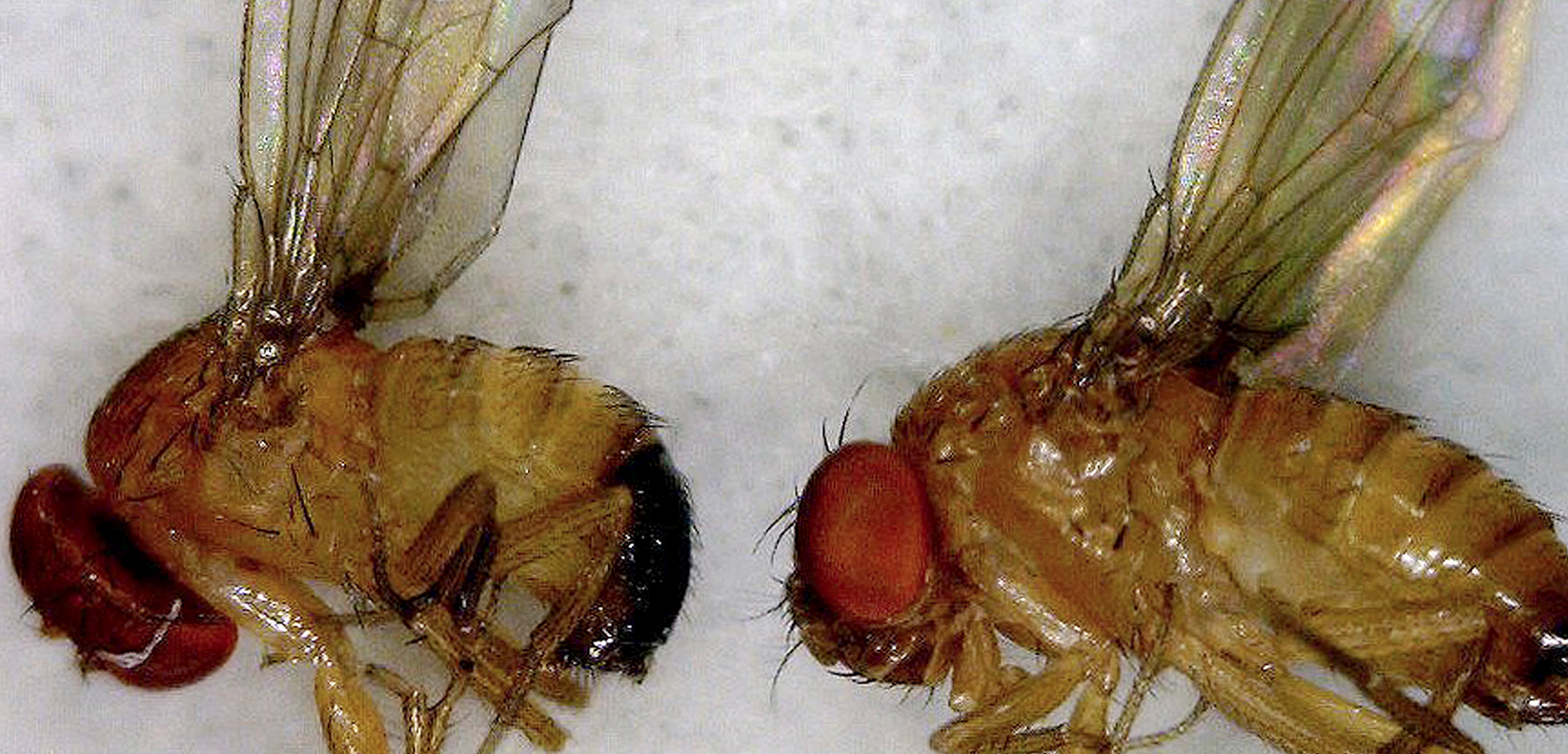 How The Lowly Fruit Fly Became A Superhero Of Modern