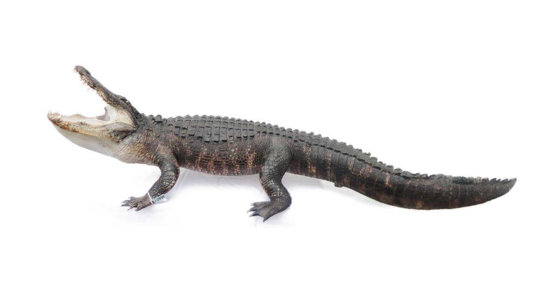 Alligator full body mount taxidermy | Taxadermy