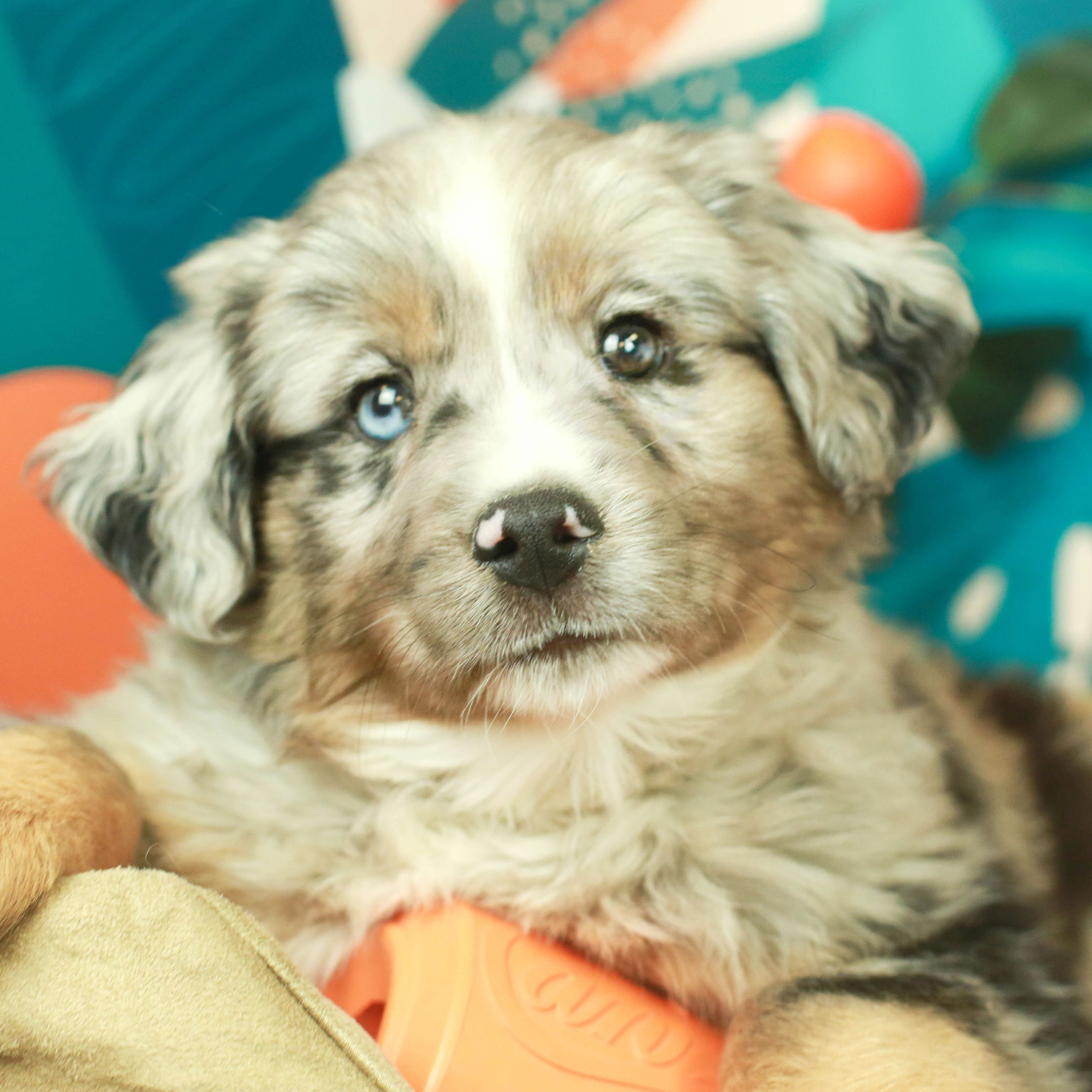 Available Puppies For Sale in 2020 Mini aussie puppy
