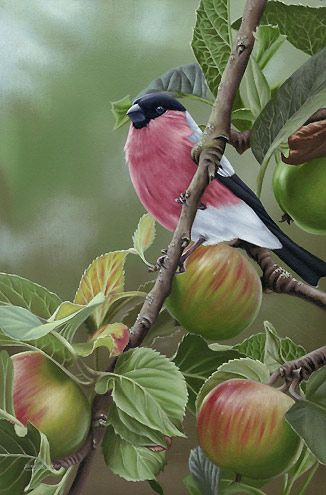 Bullfinch 'In The Orchard' by Steven Lingham