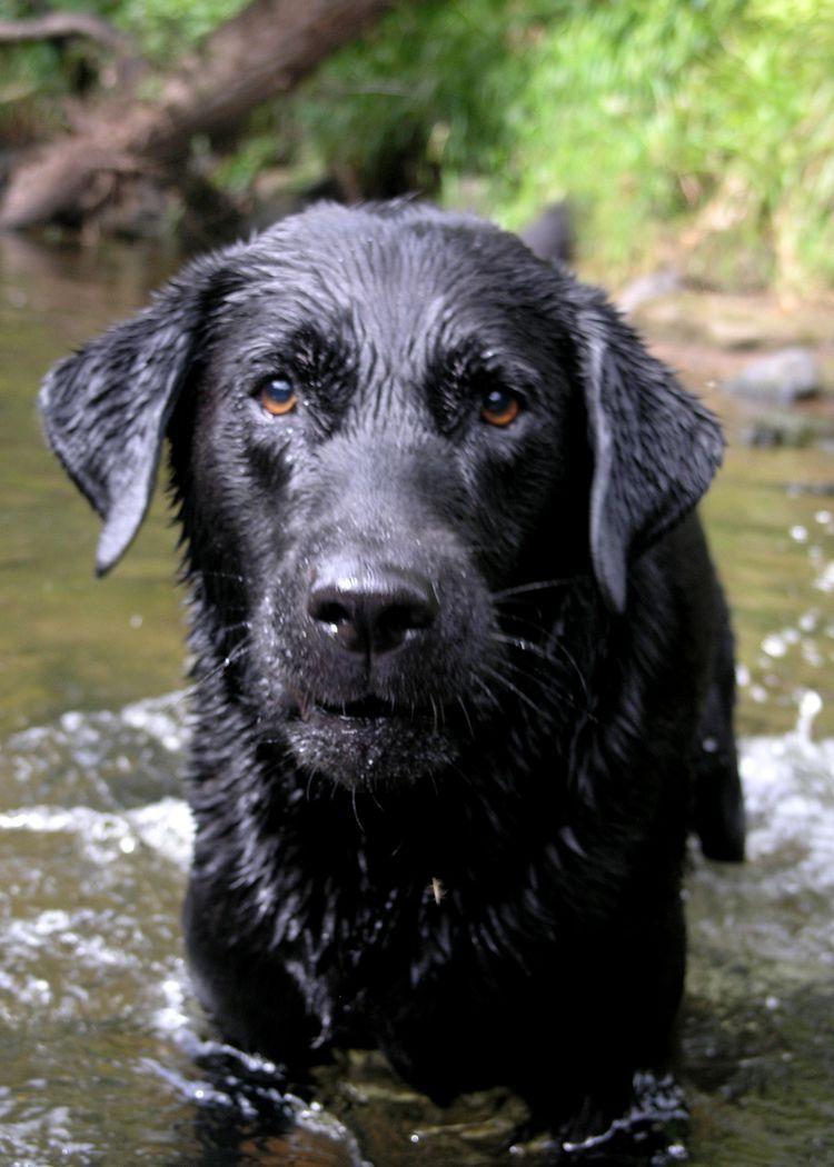 American Labrador Retriever Labrador Retriever Dog Cute Dogs