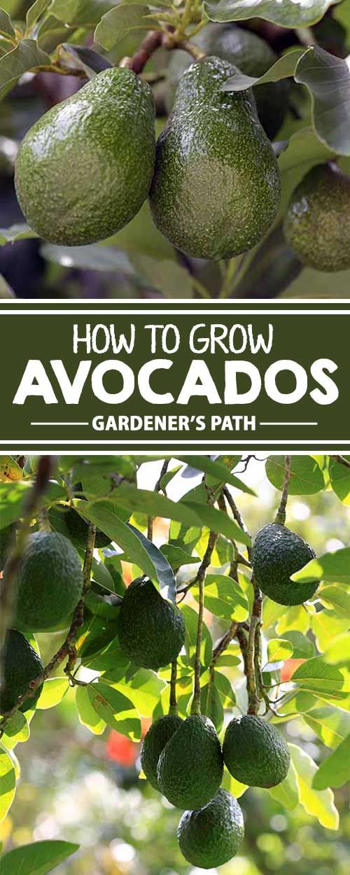 How To Grow Avocados Green Fruit Alligators And Pear
