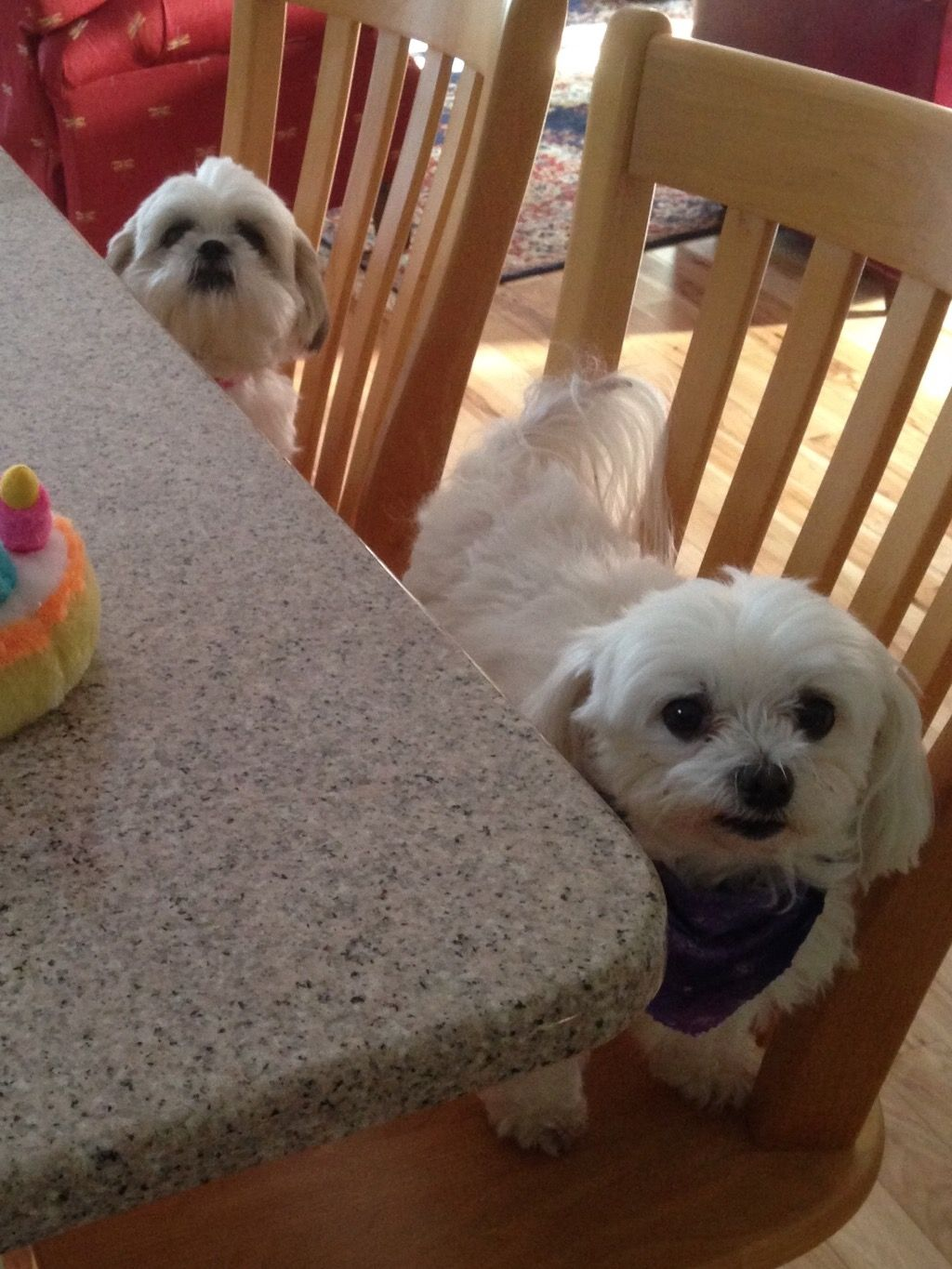 Where can i buy a teacup maltese puppy