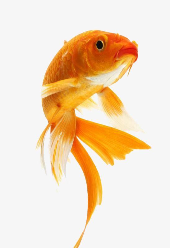Goldfish Watercolor Fish Fish Goldfish