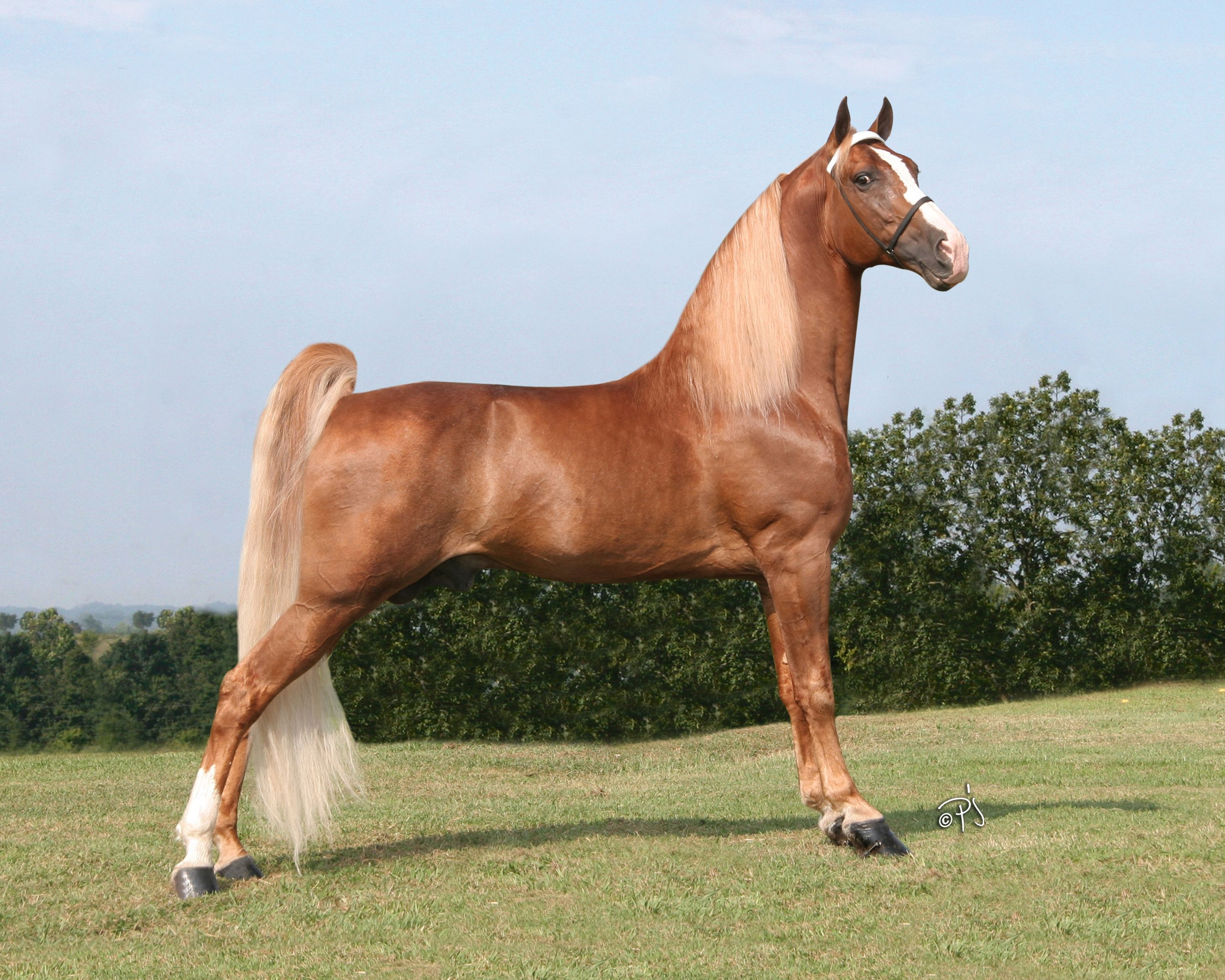 Wgc The Whole Nine Yards Purchased The Scoop Tennessee Walker Horse Tennessee Walking Horse Pretty Horses [ 2336 x 2920 Pixel ]