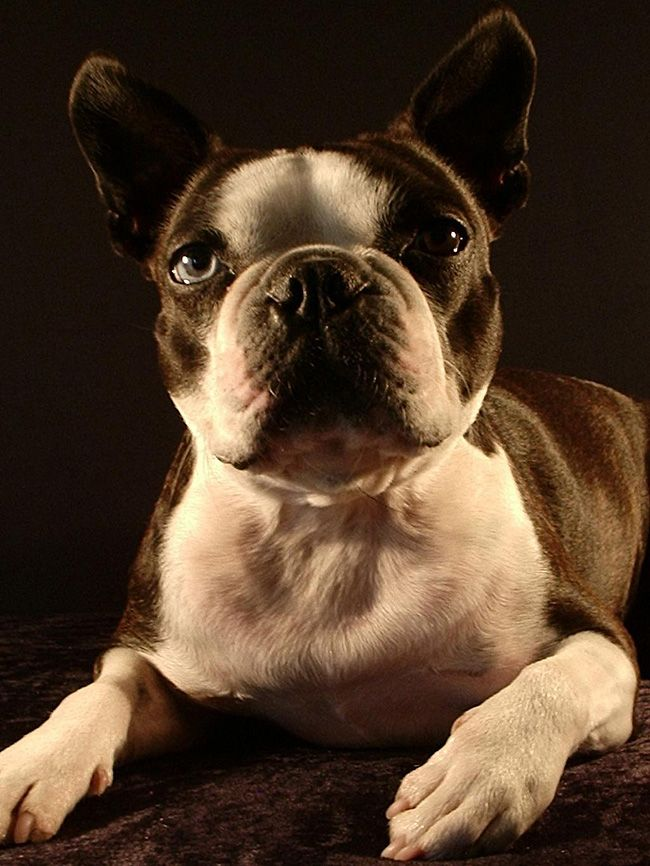 Handsome Bt With One Blue Eye This Is Occhio From Bavaria Boston Bull Terrier Boston Terrier Boston Terrier Dog