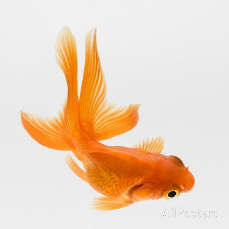 Fantail Goldfish (Carassius Auratus), Elevated View Photographic Print by Don Farrall at AllPosters.com