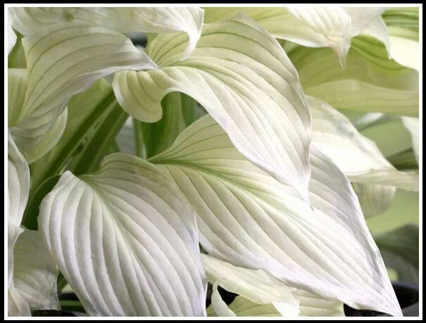 Hosta White Feather Made For Shade Garden Hosta Plants
