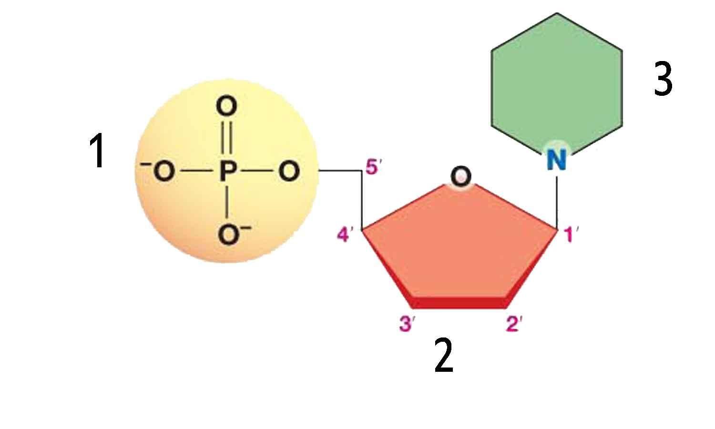 Unlabelled diagram nucleotide structure auto wiring diagram today dna nucleotide unlabeled diagram auto wiring diagram today u2022 rh autodiagram today amino acid structure diagram ccuart Images