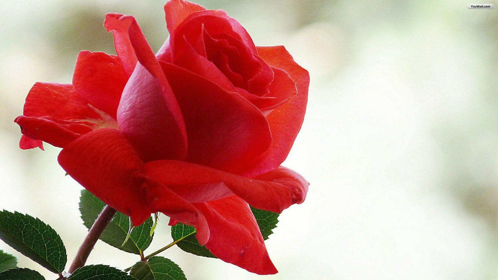 Beautiful red rose pictures 19201080 red rose picture wallpapers beautiful red rose pictures 19201080 red rose picture wallpapers 40 wallpapers adorable wallpapers izmirmasajfo
