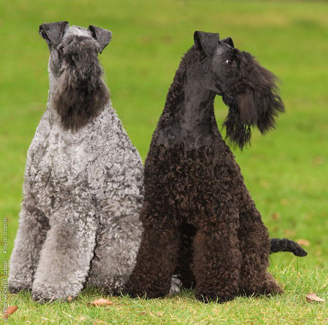 Beautiful Kerry Blue Terriers Looks Like Holly And Cynder