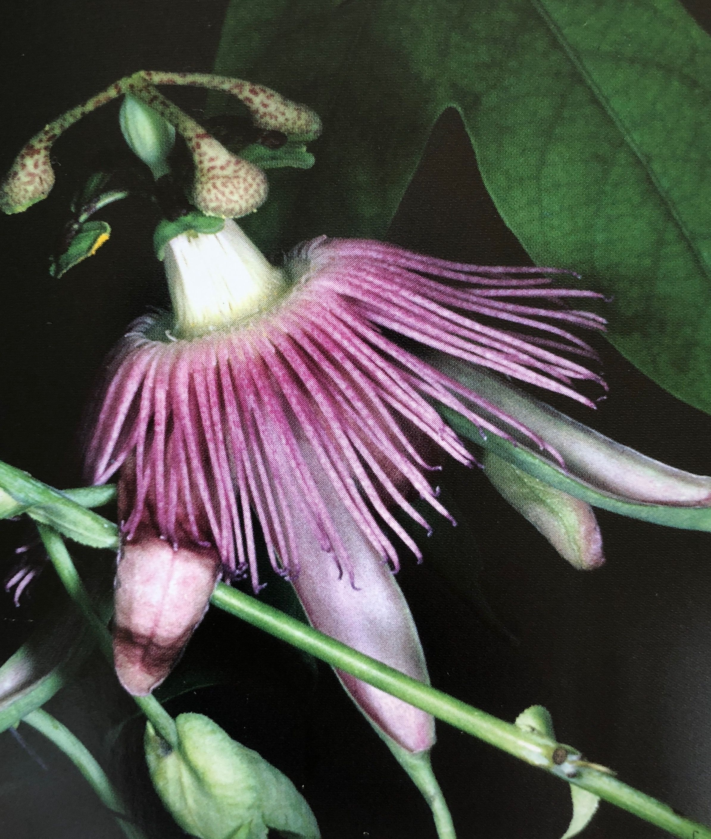 Passiflora Exura Flowers Plant Leaves Passion Flower