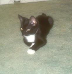 Adopt Sylvester On Petfinder Feline Leukemia Short Hair Cats Domestic Short Hair