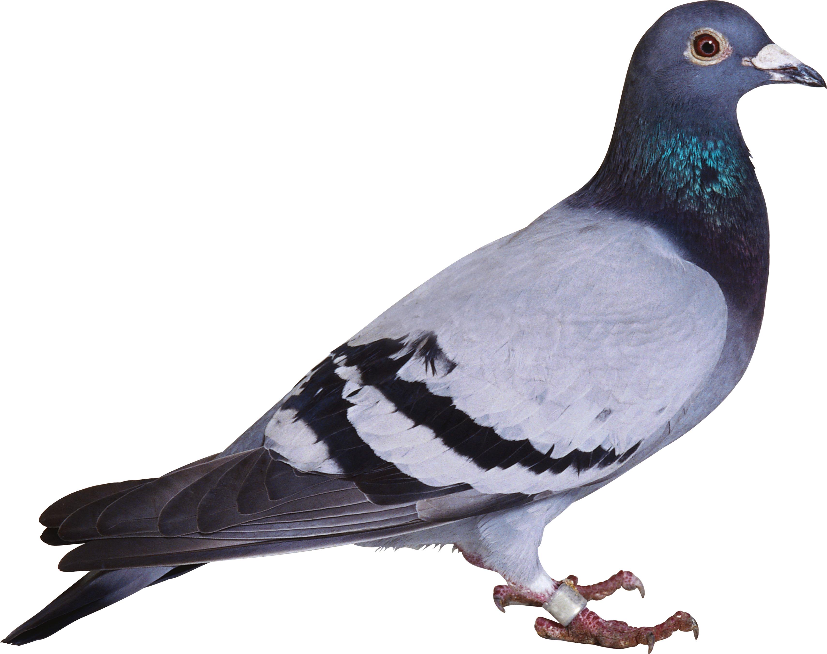 Pin By Rahul Gupta On Pigeon Pet Birds Pigeon Bird