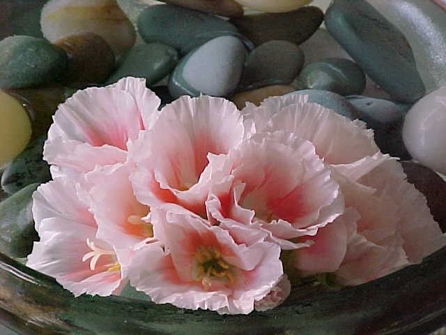 Blush Godetia Papery Secondary Blooms Flowers Flower Care Flower Pictures