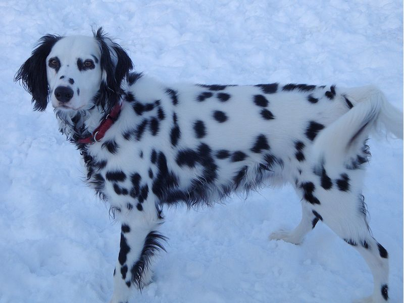 Pin By Paivi Reijonen On Unusual Colors And Coats In Dogs Dalmatian Rescue Beautiful Dogs Dalmatian