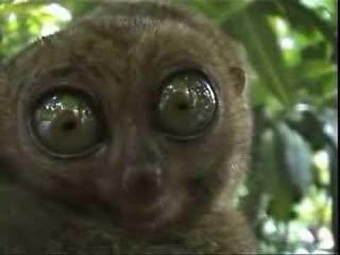 Big Eyed Lemur Lemur Happy Animals Shrek Cat