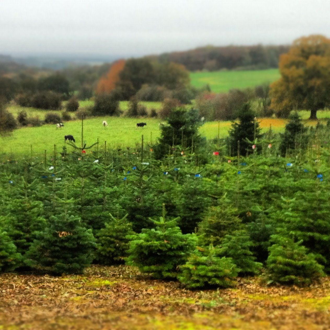Christmas Tree Farm Near Dippach Christmas Tree Farm Tree Farms Summer Christmas