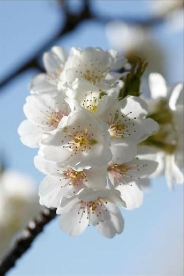 The White Flowers Of The Takesimensis Species Bloom Later In Spring And Grow Well In Wet Conditions Types Of Cherries Flowers White Flowers