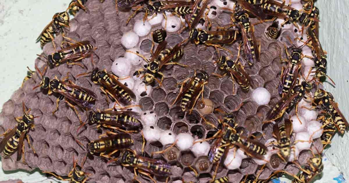 10 Natural Methods To Get Rid Of Wasps Or Help You Live