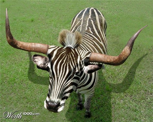 "Zebra + Bull = ZEBRULL (""Animal Crossbreed"" Worth1000 ..."