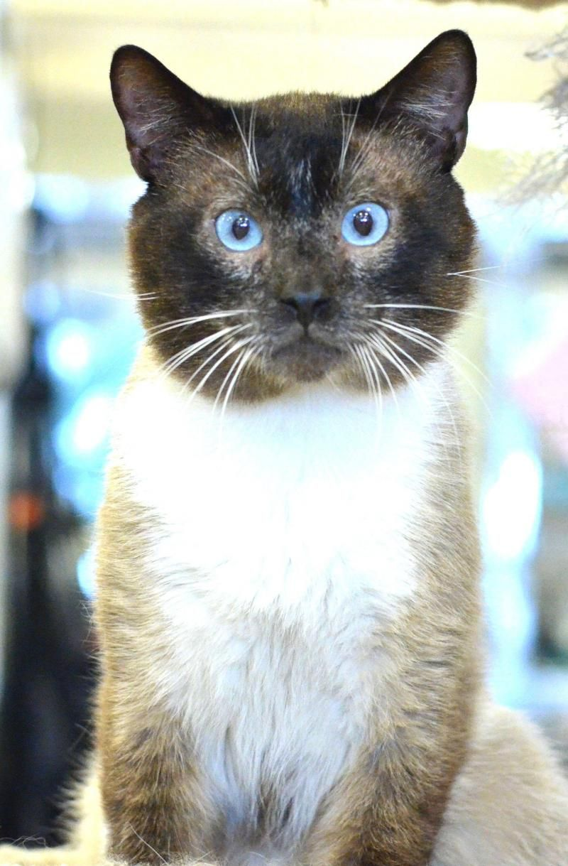 Adopt Humphrey On Siamese Cats Cats Loveable