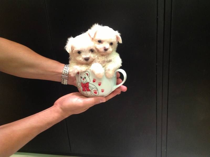 Teacup Maltese Puppies Puppies Maltese Dogs Teacup Puppies