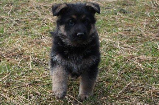 Litter Of 5 German Shepherd Dog Puppies For Sale In Evans Wa Adn